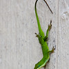 Green Anole lizard in Logan's flower and vegetable garden in Madison, MS.
