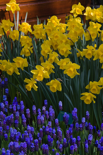 Garden Scene with Muscari latifolium and Narcissus 'Pipit'  at Keukenhof Gardens in South Holland in The Netherlands.