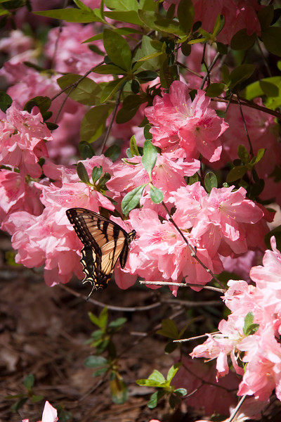 Eastern Tiger Swallowtail butterfly, Papilio glaucus, on Azaleas, at Callaway Gardens in Pine Mountain, Georgia. Callaway Gardens, which is especially famous for its azaleas, boasts 13,000 acres of gardens and Georgia countryside, plus a conservation nature preserve, extensive education programs, and a very impressive resort as well.