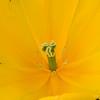 Triumph Tulip, Tulipa 'GOLDEN TYCOON',  at Keukenhof Gardens in South Holland in The Netherlands.
