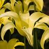 Tulipa 'LEMON MERENQUE' - no. 92 late blooming, at Keukenhof Gardens.