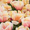 Darwin Hybrid Tulip, Tulipa 'AD REM'S BEAUTY',  at Keukenhof Gardens in South Holland in The Netherlands.