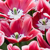 Triumph Tulip, Tulipa 'EDITIE.NL',  at Keukenhof Gardens in South Holland in The Netherlands.