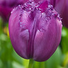 Fringed Tulip, Tulipa fringed 'CURLY SUE',  at Keukenhof Gardens in South Holland in The Netherlands.