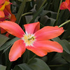 May Flowering Tulip, Tulipa 'TEMPLE OF BEAUTY', at Keukenhof Gardens.