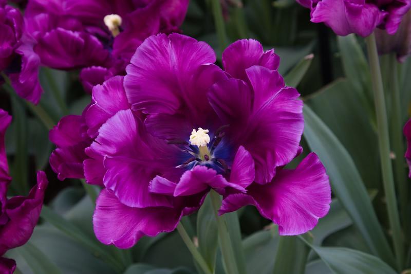 Parrot Tulip, Tulipa 'BLUE PARROT', at Keukenhof Gardens.