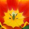 Triumph Tulip, Tulipa 'CO TORBIJN',  at Keukenhof Gardens in South Holland in The Netherlands.
