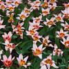 Tulip, Tulipa kaufmanniana 'ANCILLA', at Keukenhof Gardens.