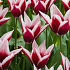 Triumph Tulip, Tulipa 'RAJKA',  at Keukenhof Gardens in South Holland in The Netherlands.