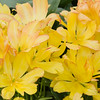 Tulip, Tulipa 'SUNSHINE CLUB', at Keukenhof Gardens in South Holland in The Netherlands.