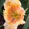 Fringed Tulip, Tulipa fringed 'LAMBADA', at Keukenhof Gardens in South Holland in The Netherlands.