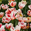 Triumph Tulip, Tulipa 'CARNAVAL de RIO', at the Keukenhof Gardens in South Holland, The Netherlands.