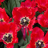 Fringed Tulip, Tulipa 'RED WING', at the Keukenhof Gardens in South Holland, The Netherlands.
