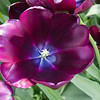Tulip, Tulipa 'CAFE NOIR',  at Keukenhof Gardens in South Holland in The Netherlands.
