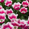 Triumph Tulip, Tulipa 'INSPIRATION', at Keukenhof Gardens.