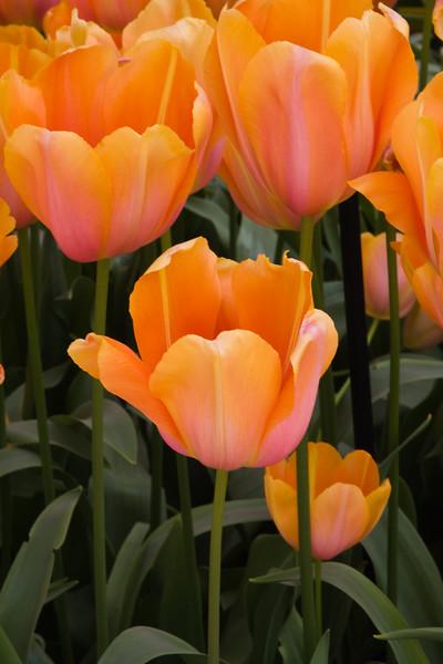 May Flowering Tulip, Tulipa 'DORDOGNE', at Keukenhof Gardens, South Holland, The Netherlands.