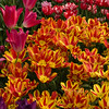 Bunch Flowering Tulip, Tulipa 'COLOUR SPECTACLE', and Peony Flowering Tulip 'CURLY SUE' at Keukenhof Gardens.