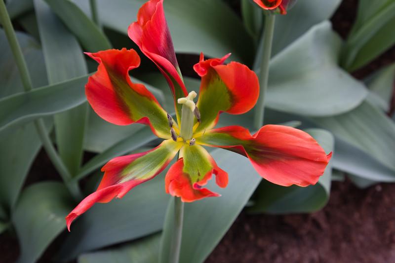 Viridiflora Tulip, Tulipa 'EYE CATCHER', at the Keukenhof Gardens in South Holland, The Netherlands.
