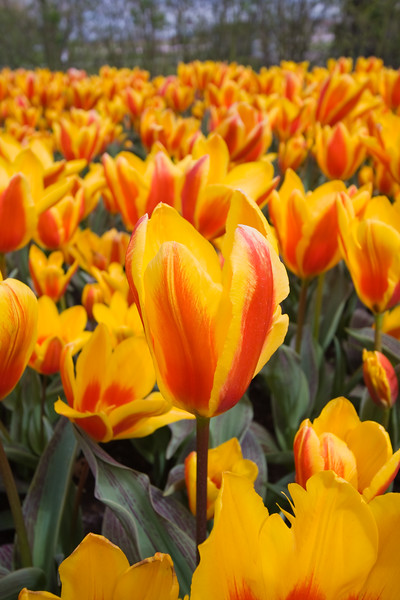 Tulip, Tulipa Gregii 'Lucky Lady', at Keukenhof Gardens in The Netherlands (Holland).