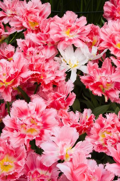 Fringed Tulip, Tulipa fringed 'CRISPION SWEET', at the Keukenhof Gardens in South Holland, The Netherlands.