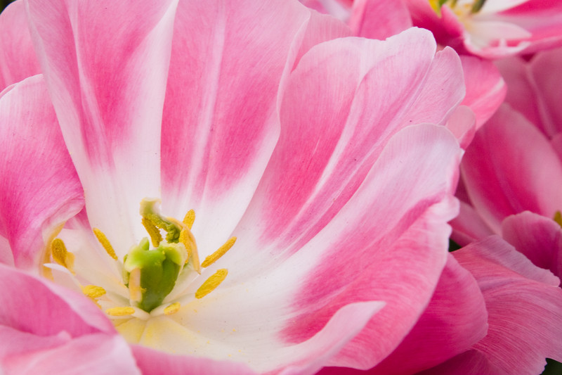 Double Late Tulip, Tulipa 'GRANDA',  at Keukenhof Gardens in South Holland in The Netherlands.