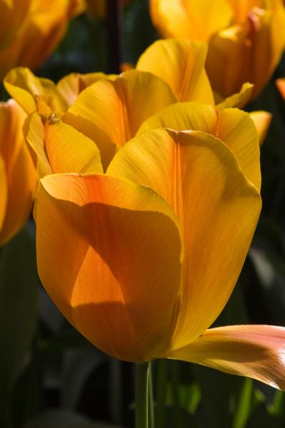 Triumph Tulip, Tulipa 'VERONIQUE SANSON',  at Keukenhof Gardens in South Holland in The Netherlands.