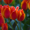Tulips, Tulipa greigii 'TREASURE',  at Keukenhof Gardens in South Holland in The Netherlands.