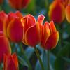 Tulips, Tulipa greigii 'TREASURE',  at Keukenhof Gardens in South Holland in The Netherlands.