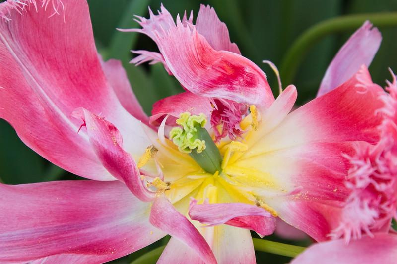 Fringed Tulip, Tulipa fringed 'CRISPION SWEET', at Keukenhof Gardens in South Holland in The Netherlands.
