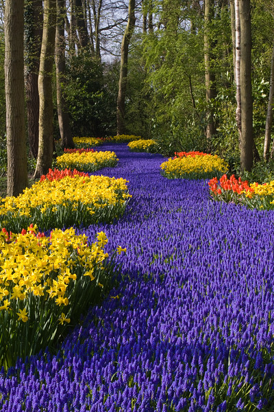 Garden Scene with Muscari 'LATIFOLIUM' and Tulip 'ROB VERLINDEN' and Narcissus 'PIPIT' - at Keukenhof Gardens in South Holland, The Netherlands.