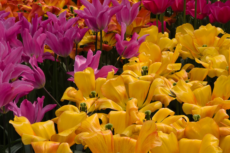 Darwin Hybrid Tulip, Tulipa 'BLUSHING APELDOORN', at the Keukenhof Gardens in South Holland, The Netherlands.
