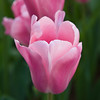Triumph tulip, Tulipa 'SURVIVOR', dedicated to breast cancer survivors, at Keukenhof Gardens.