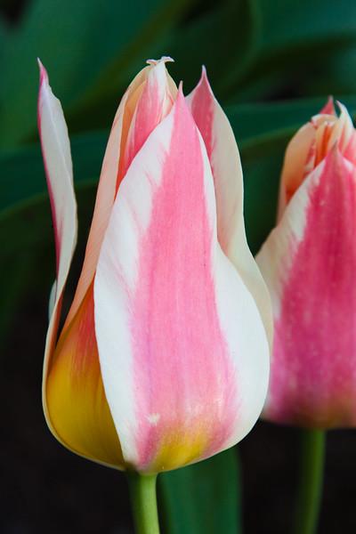 Tulip, Tulipa Gregii 'LOVELY SURPRISE', at Keukenhof Gardens.