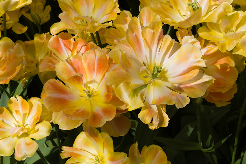 Double Late Tulip, Tulipa 'CHARMING BEAUTY', at the Keukenhof Gardens in South Holland, The Netherlands.