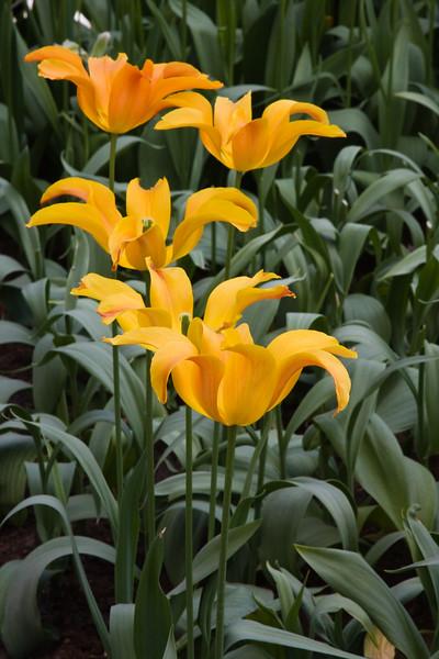 Lily flowering Tulip, Tulipa 'BALLERINA', at Keukenhof Gardens.