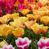 Tulips, Tulipa 'LAMBADA' and 'INSPIRATION', at Keukenhof Gardens.