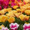 Tulips, Tulipa 'LAMBADA' and 'INSPIRATION', at Keukenhof Gardens.
