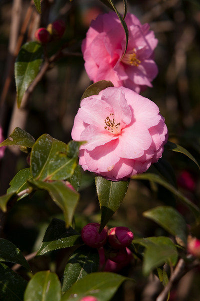 Camellia, Camellia japonica 'SPRING FESTIVAL',  at Mercer Arboretum and Botanical Gardens in Spring, Texas.
