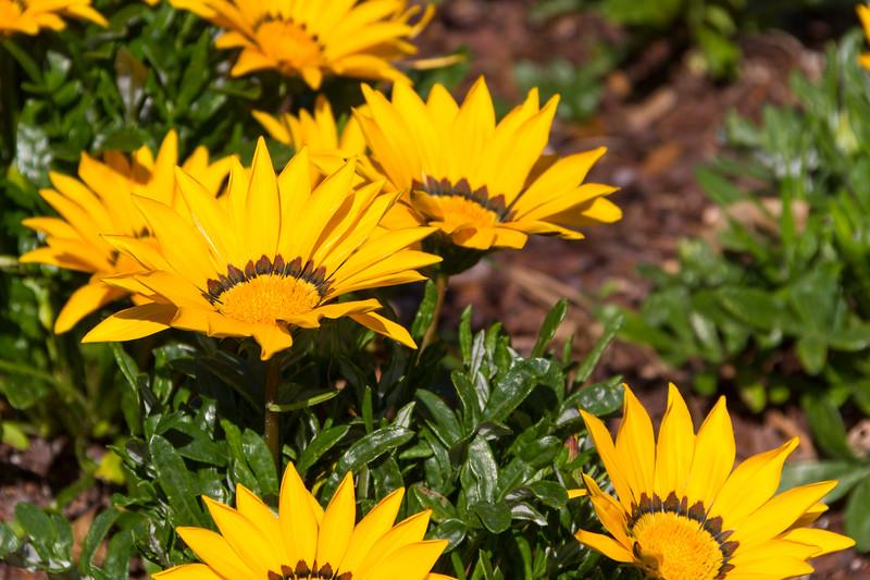Gazinia 'Daybreak Bright Yellow', Gazania rigens, at Mercer Arboretum and Botanical Gardens in Spring, Texas.