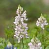 White Texas Bluebonnet (or Lupine) at Mercer Arboretum and Botanical Gardens in Spring, Texas.