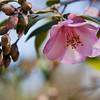 Camellia 'DOT KATIE', Camellia x 'DOT KATIE', at Mercer Arboretum and Botanical Gardens in Spring, Texas.