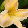 Daylily, Hemerocallis 'UNFORGETTABLE', at Mercer Arboretum and Botanical Gardens in Spring, TX.