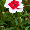 China Pink - Dianthus chinensis 'Valentine' - at Mercer Arboretum and Botanical Gardens in Spring, Texas.