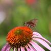 Skipper on Purple Coneflower (Echinacea purpurea) at Mercer Arboretum and Botanical Gardens in Spring, TX.