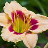 Daylily, Hemerocallis 'TINY GOLD', at Mercer Arboretum and Botanical Gardens in Spring, Texas.