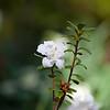 Azalea, Rhododendron x 'ENCORE MOONBEAM', at Mercer Arboretum and Botanical Gardens in Spring, Texas.