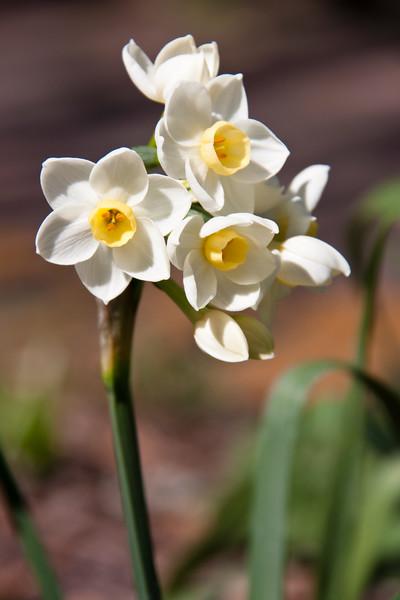 Daffodil 'Grand Primo', Narcissus tazetta 'GRAND PRIMO', at Mercer Arboretum and Botanical Gardens in Spring, Texas.