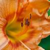 Daylily, Hemerocallis 'HIGHLAND MYSTIC', at Mercer Arboretum and Botanical Gardens in Spring, TX.