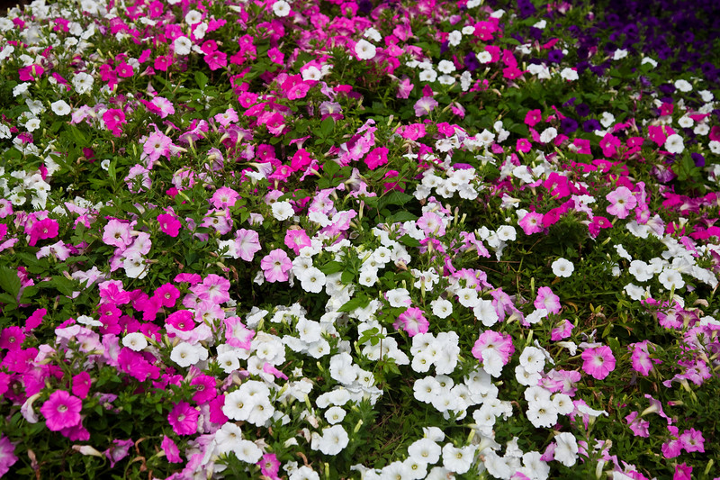 Petunias, Petunia x hybrida 'WAVE EASY PINK MARBLE MIX', at Mercer Arboretum and Botanical Gardens in Spring, TX.