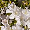 Azalea gardens at Mercer Arboretum and Botanical Gardens in Spring, Texas.
